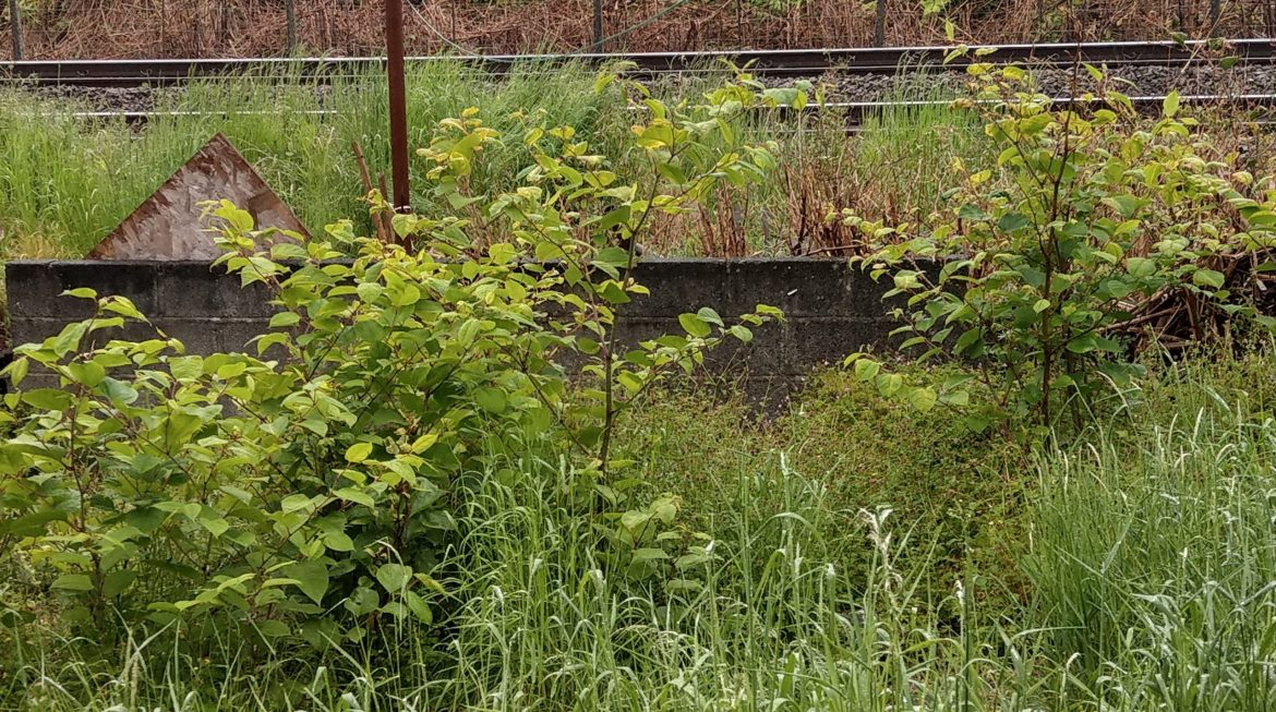 July Japanese Knotweed Settlement in excess of £10,000