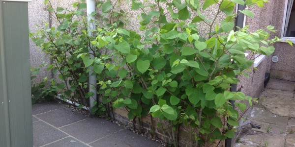 Why Is Japanese Knotweed A Risk To Your Future?