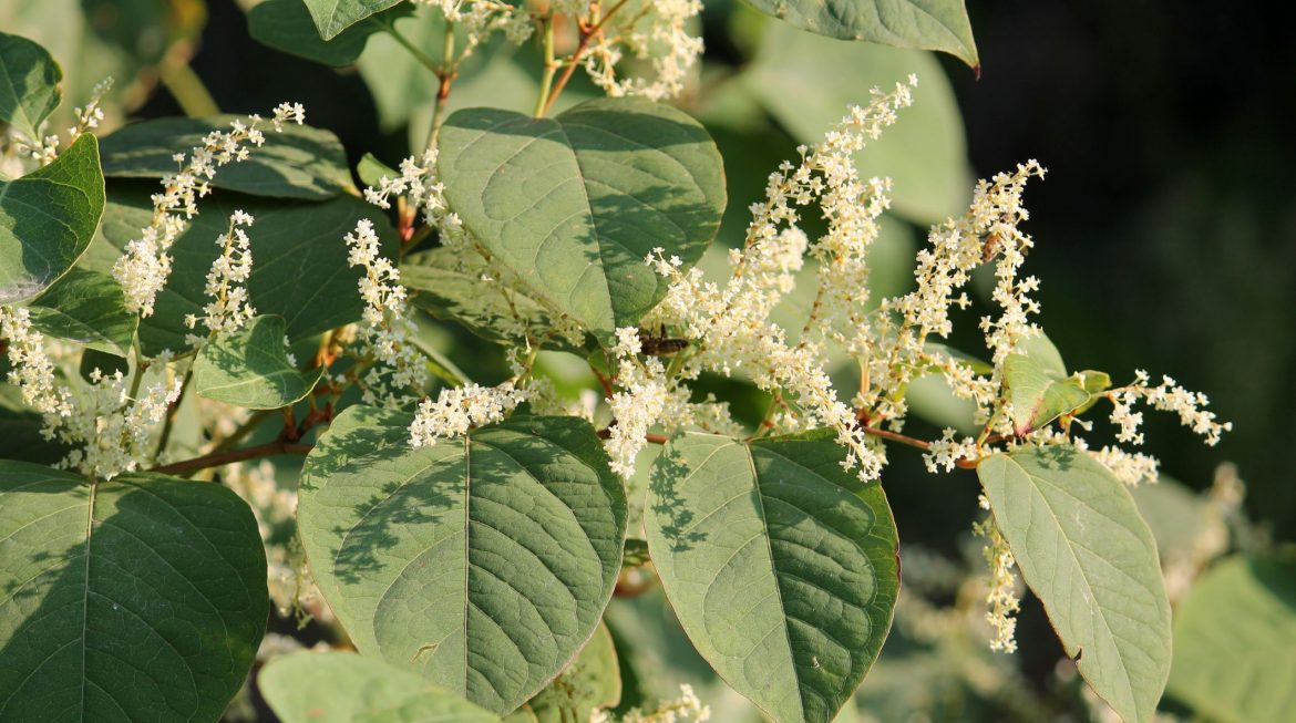 Are You Eligible To Make A Japanese Knotweed Claim?